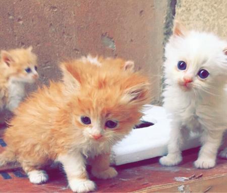 قطط لبيع شيرازي